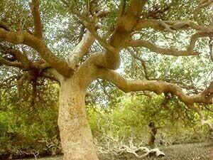 درخت انجیر معابد قشم تور قشم