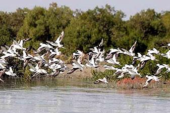 جنگل حرا و زیستگاه پرندگان