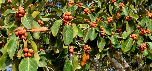 میوه درخت انجیر معابد