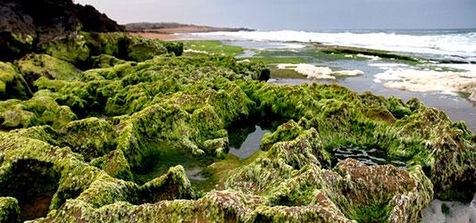 پوشش خزه ساحل صخره ای چابهار